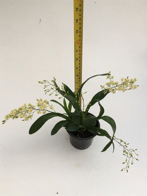 Oncidium Twinkle Fragrance Fantasy na internet