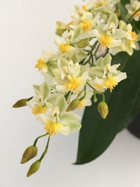 Oncidium Twincle Fragrance fantasy
