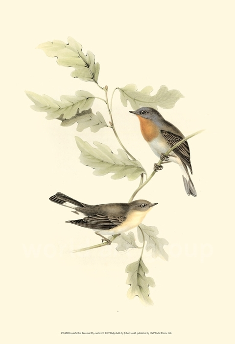 Gould's Red-breasted Fly-catcher - John Gould