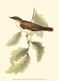 Gould's Nightingale - John Gould