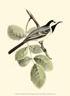 Gould's White Wagtail - John Gould