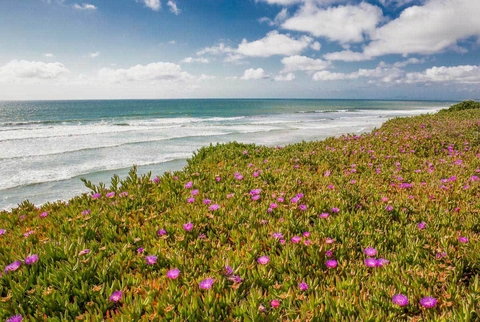 Blooming Ice Plants, Del Mar - Barbara Markoff