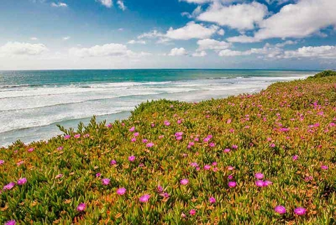 Blooming Ice Plants, Del Mar - Barbara Markoff - comprar online