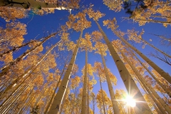 Winter Aspens - Dale O'Dell