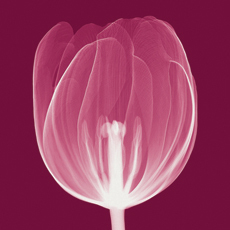 Tulips [Negative] - A -Steven N. Meyers na internet