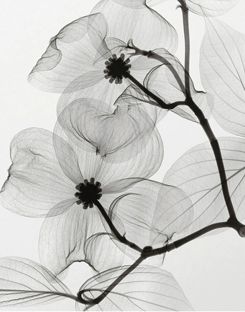 Dogwood Blossoms - Positive- Steven N. Meyers