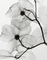 Dogwood Blossoms - Positive- Steven N. Meyers na internet