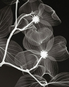 Dogwood Blossoms- Negative - Steven N. Meyers