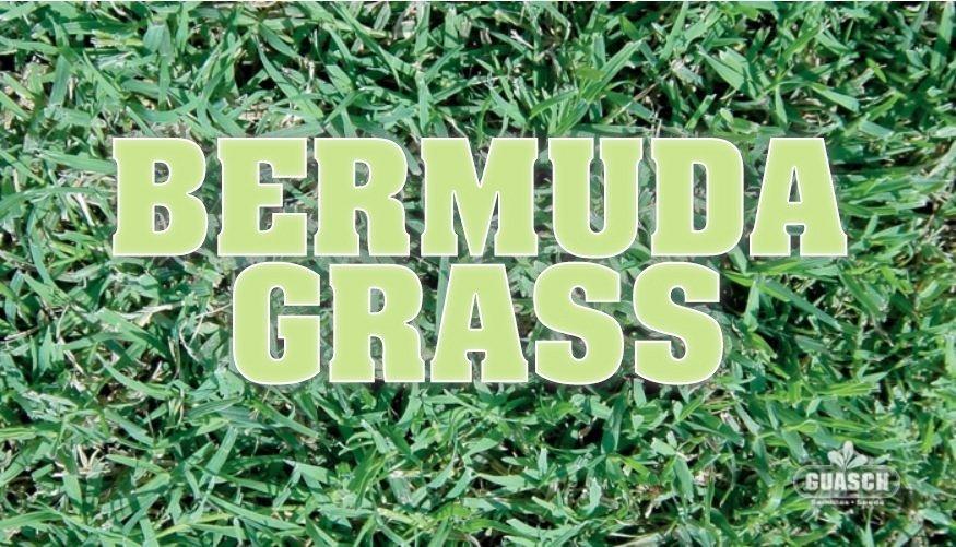 Bermuda Grass Unhulled