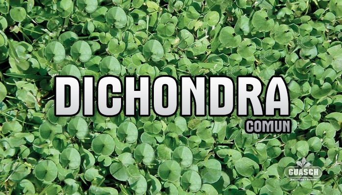 Dichondra Común