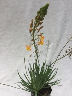 Bulbine caulescens E.1lts en internet