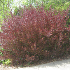 Dodonea Viscosa Purpurea E.3lts