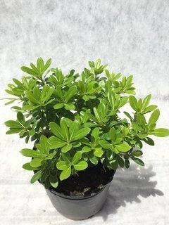 Pittosporum Tobira Wheeleri E.4lts en internet