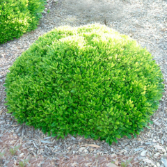 Pittosporum Tobira Wheeleri E.4lts