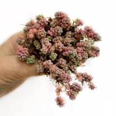 Sedum dasyphyllum major
