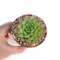 Echeveria Kircheriana