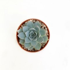 Echeveria x peacockii en internet