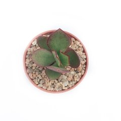 "Crassula 'Blue Bird"" - comprar online"
