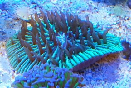 Coral Plate Green