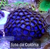 Zoanthus Super Blue