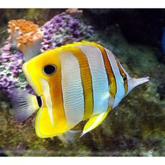 Copperband Butterflyfish MD/GD(Chelmon rostratus)
