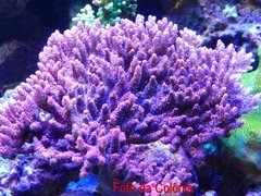 Acropora Strawberry - comprar online