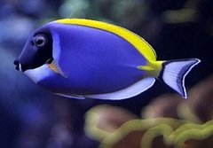 Powder Blue Tang - Gd