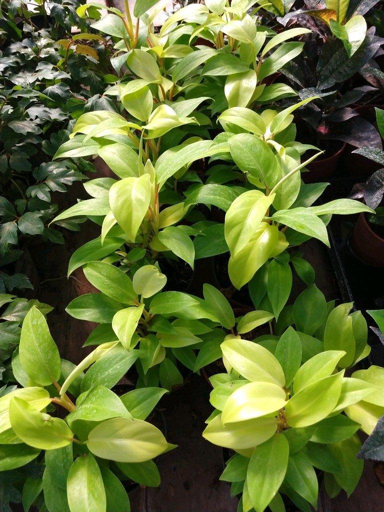 Philodendron lemon M12