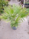 Chamareops humilis E10L
