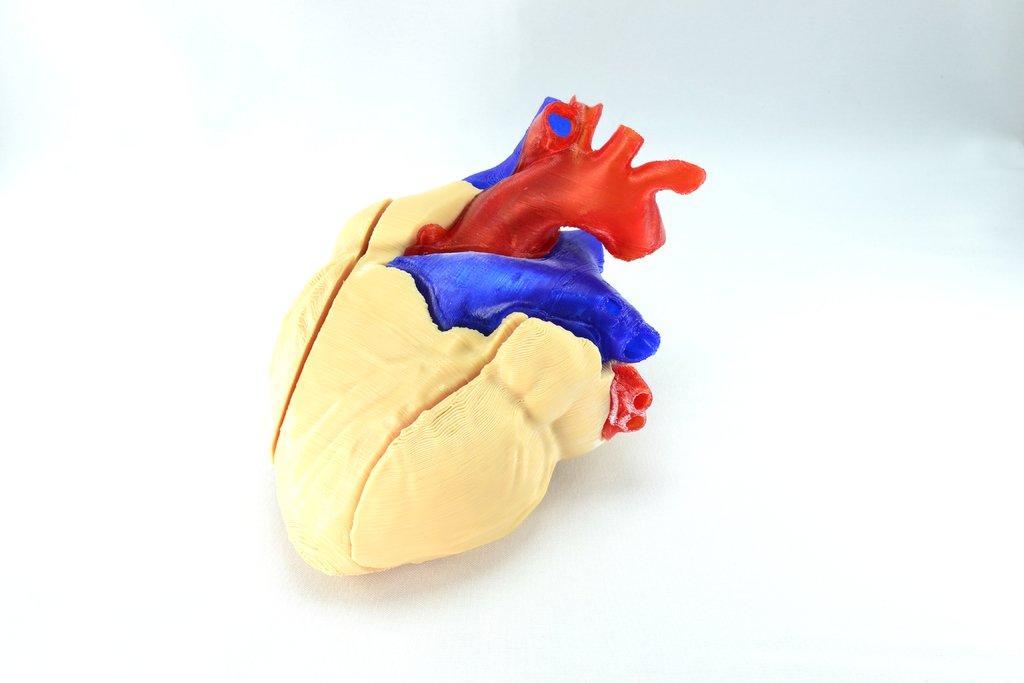 Biomodelo réplica anatómica del corazón humano