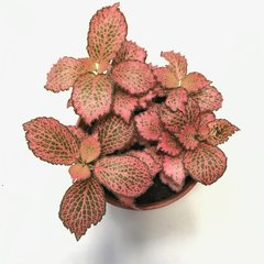 Fittonia Red - S -