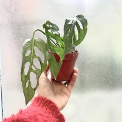 Philodendron peruviano Cutting