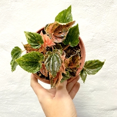 Peperomia 'Pink Lady'
