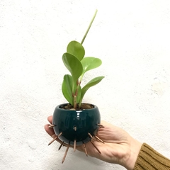 Mini Ouch + Peperomia Lemon -MINI-