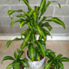 Palo de Agua (Dracena Fragans Massageana)
