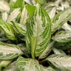 Aglaonema Freeman