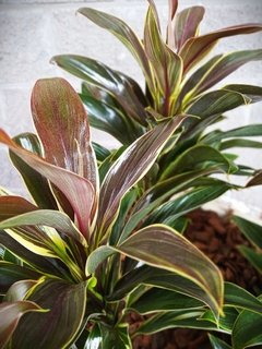 Cordyline Fruticosa Cameroon Yellow en internet