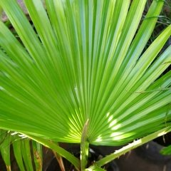 Washingtonia - comprar online