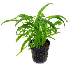 Cryptocoryne costata na internet