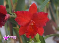 "Cattlianthe Hazel Boyd ""Red Stone"""