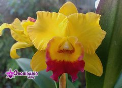 Rhyncholaeliocattleya Little Toshie 'Golden Country'