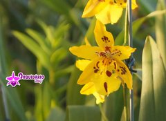 Oncidium Tiger Crow