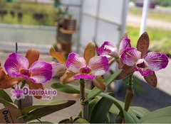 Imagem do Cattleya schilleriana X Cattleya Wax Toy